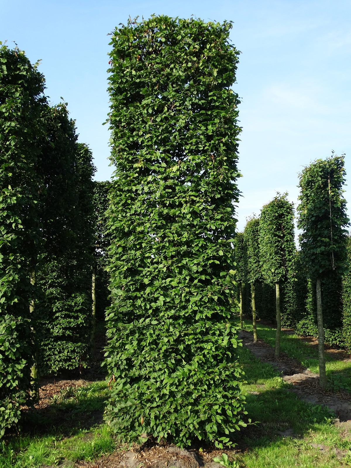 Blokvorm-Carpinus-betulus