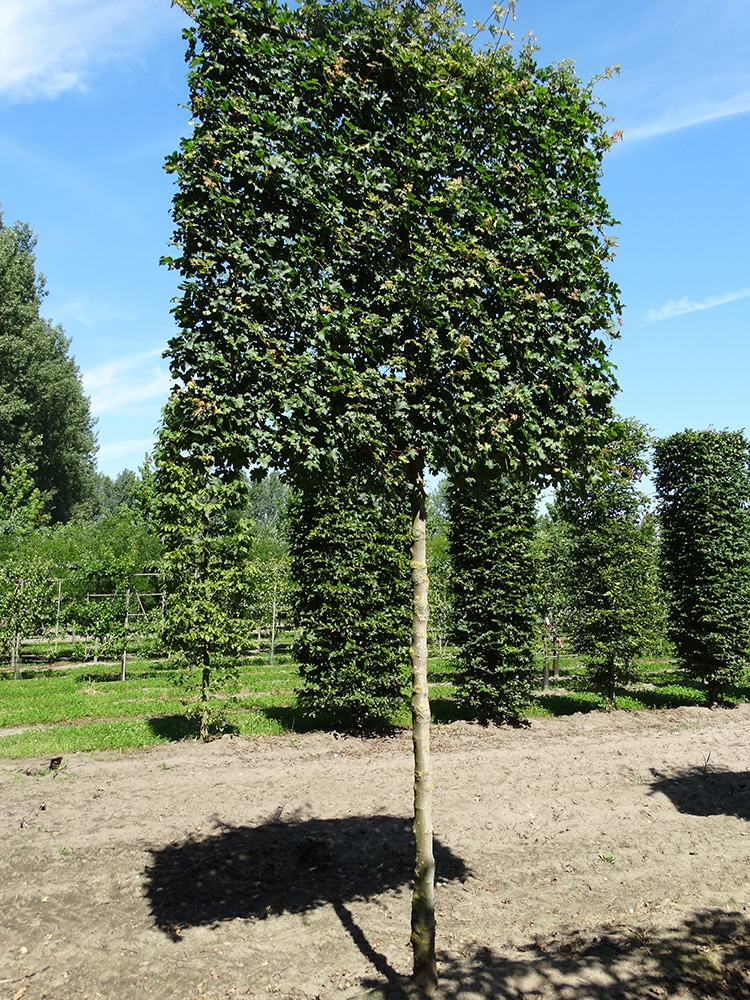 Acer Campestre Elsrijk Ruud Van Den Berk